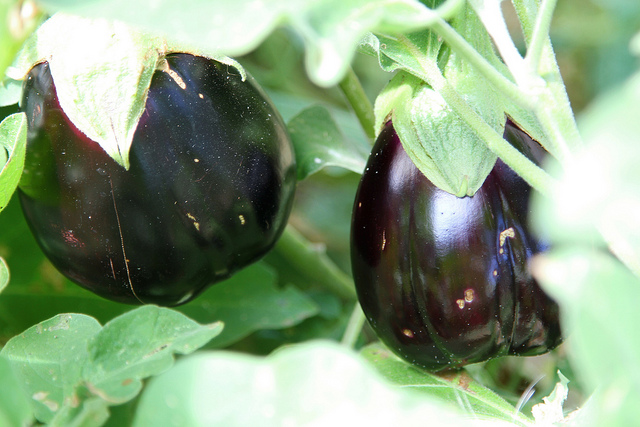 eggplant growing tips